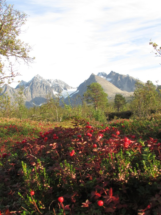 Lingon berries in the Lyngen alps